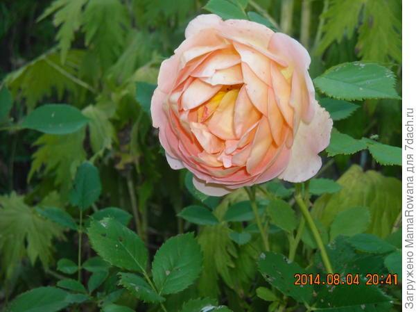 "Роза сорта ""Pat Austin"""