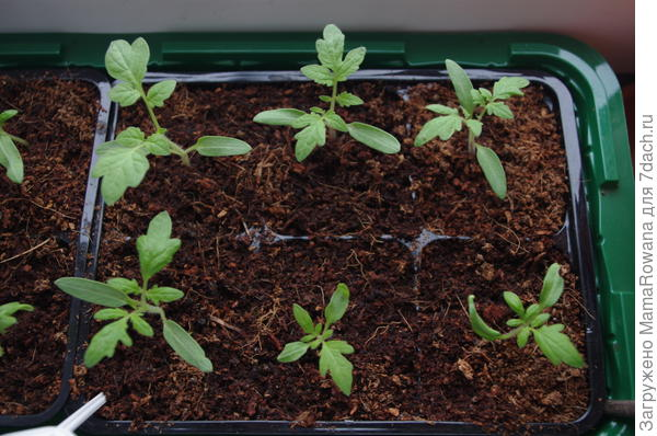 """Наверху три """"Салюта"""", внизу слева - """"Бони ММ"""", внизу в центре и справа - """"Агата"""". Тема всхожести прошлогодних семян раскрыта чуть более, чем полностью."""