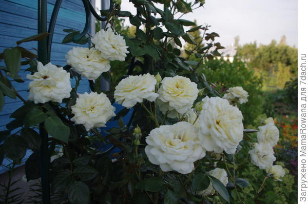 "Роза ""Elfe"" (Tantau, 2000)"