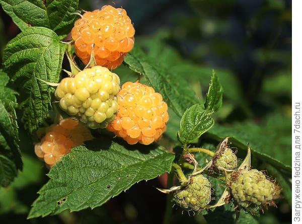 Июньское абрикосовое наслаждение