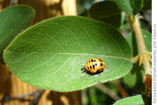 неизвестное насекомое на жимолости и сливе