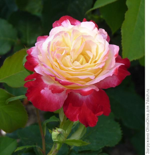 Бутон розы Дабл Делайт