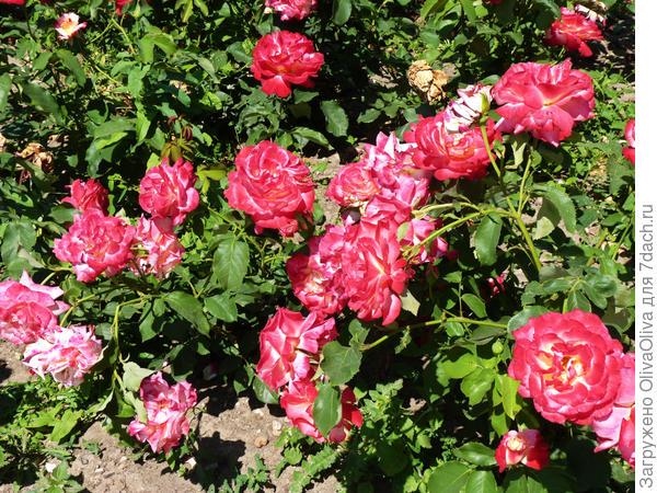 Беспрерывное цветение розы Дабл Делайт