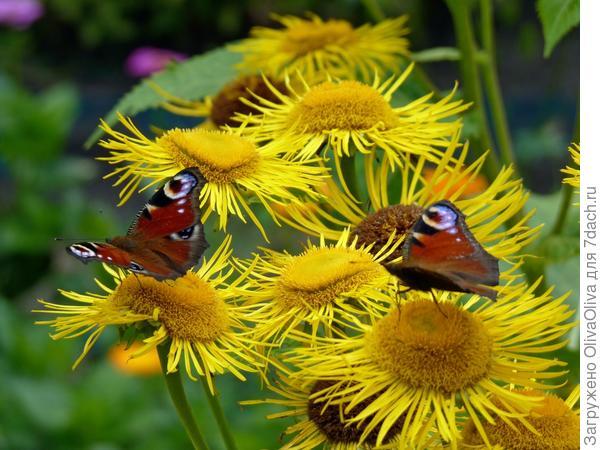 Бабочки-павлинницы и девясил