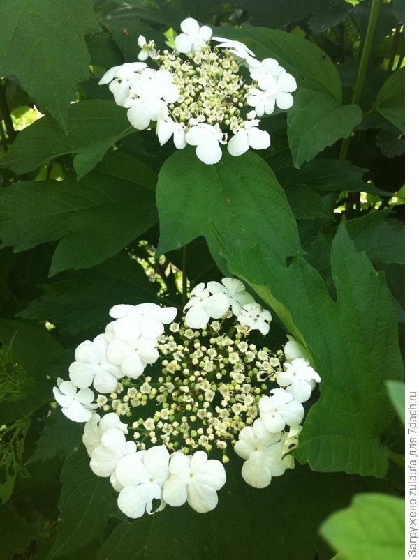 калинов цвет
