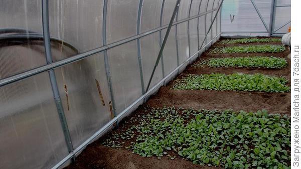 Всходит редис через 5-7 дней, в зависимости от погоды. Дальше уход заключается в поливе и прополках.