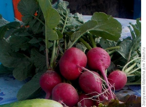 Редис растет быстро, в середине мая открывает дачный сезон и обеспечивает всю нашу большую семью вкусными витаминами, вплоть до тех пор, пока не созреет урожай в открытом грунте.