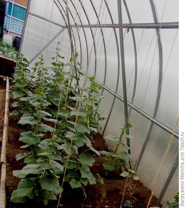 Огурцы тем временем уже подвязаны шпагатом, который накручиваем вокруг растений по мере роста. Ослепляем их на 3-4 листа, усики удаляем. Через некоторое время начинается регулярный сбор урожая. Чем чаще собирать огурцы – тем выше будет урожайность.