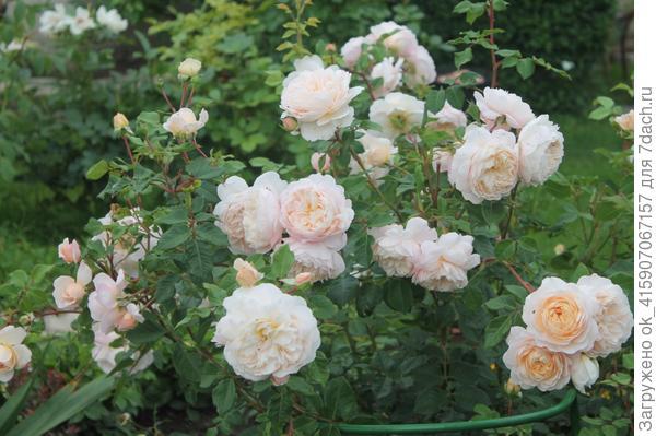 остинка Крокус роуз