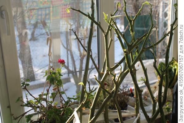 Зимует на веранде
