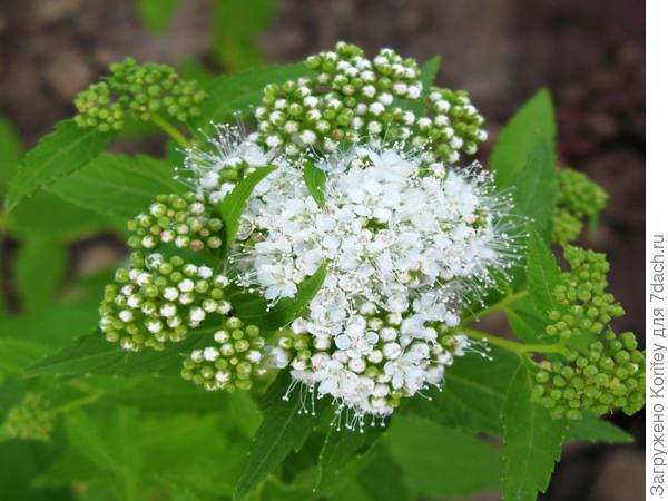 Sp.japanees f.albiflorae