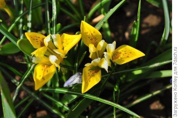 Iris Danfordiae_DSC_9761