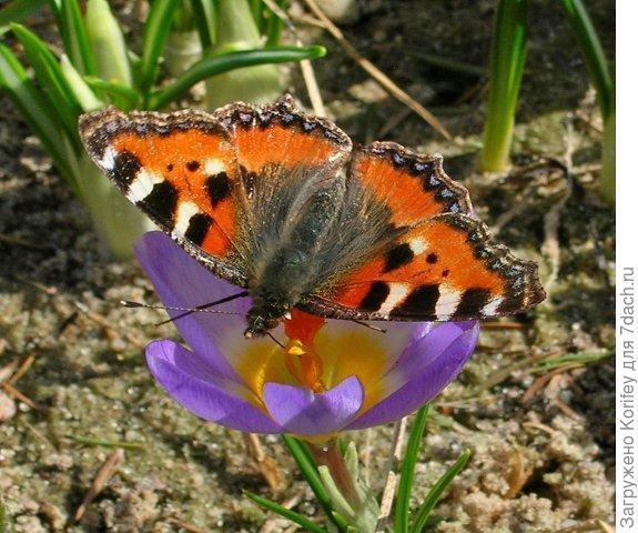 Tricolor with butterfly_Crocus chrysantus_DSCN6783