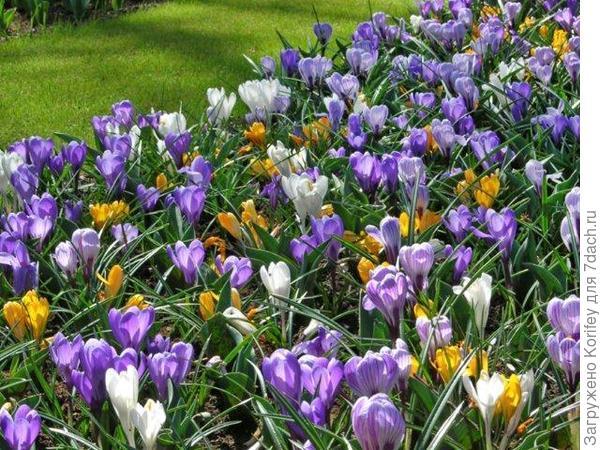 Крокусы с тюльпанами 6
