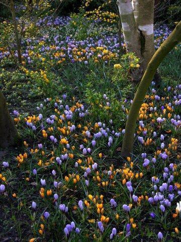 Крокусы с тюльпанами 8