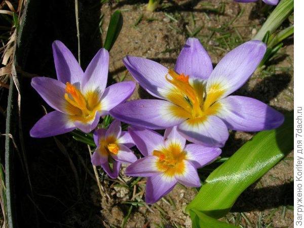 Сорт Tricolor _Crocus chrysantus _DSCN6571