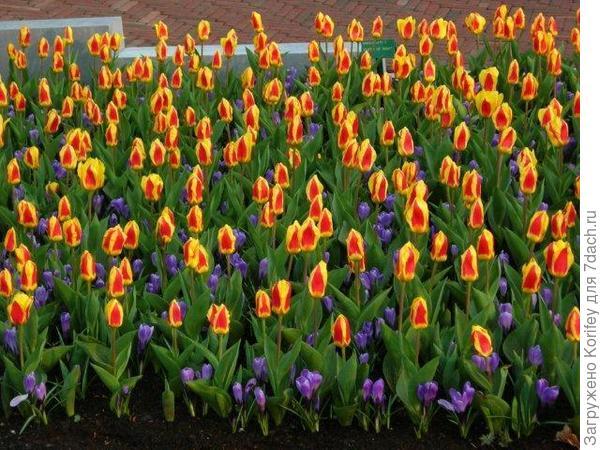 Крокусы с тюльпанами 5