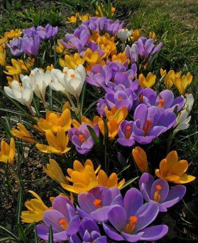 Tricolor with butterfly_Crocus chrysantus_DSCN6783 3