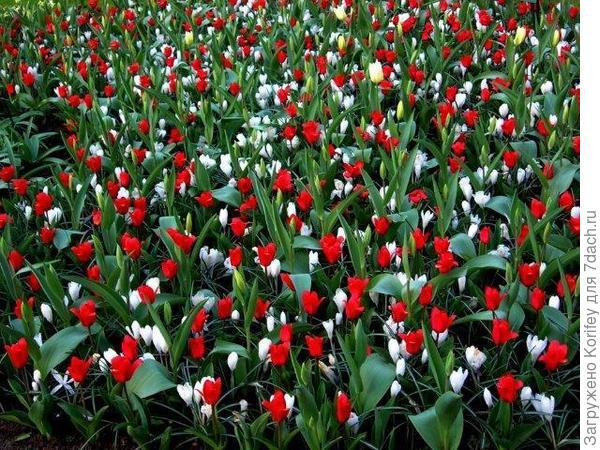 Крокусы с тюльпанами 4