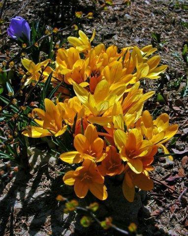 Fusconctinctus_DSCN3261_blog