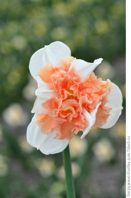 Нарцисс с махровой коронкой