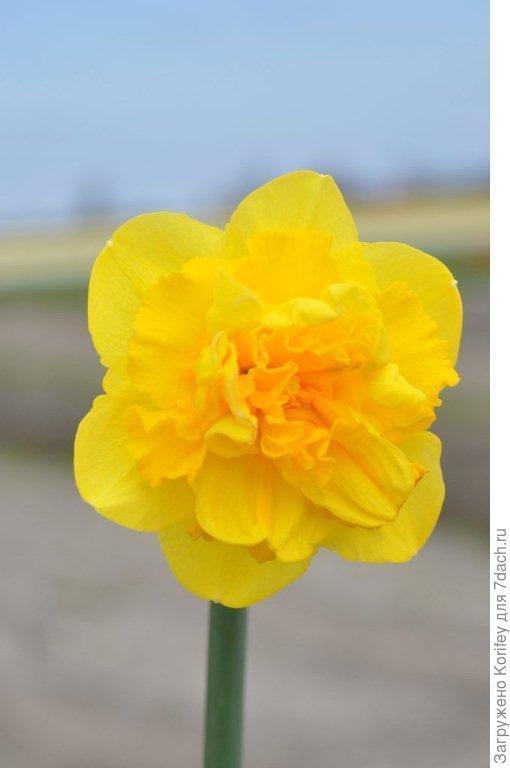Ярко-желтый махровый нарцисс