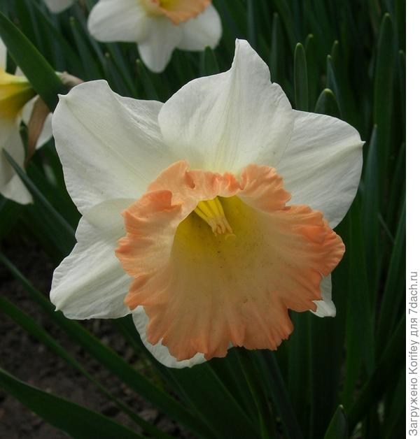 Сорт Easter Bonnet _Pink Charm_DSCN4728_1