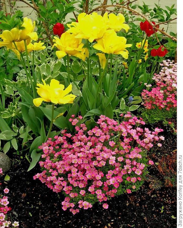 И с камнеломками тюльпаны тоже хорошо смотрятся ))))