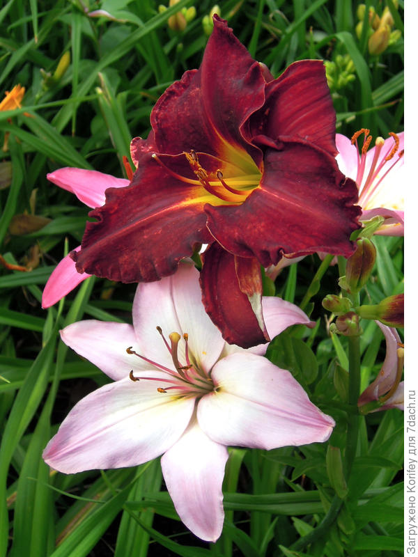 Вот цветки лилии и лилейника рядом. Чем-то похожи, но все же даже не специалисту видно, что они достаточно сильно отличаются