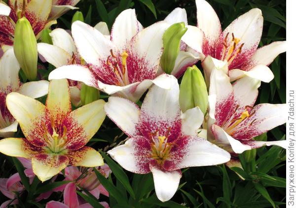 Крапчатая азиатская лилия. Азиатские лилии обычно не пахнут