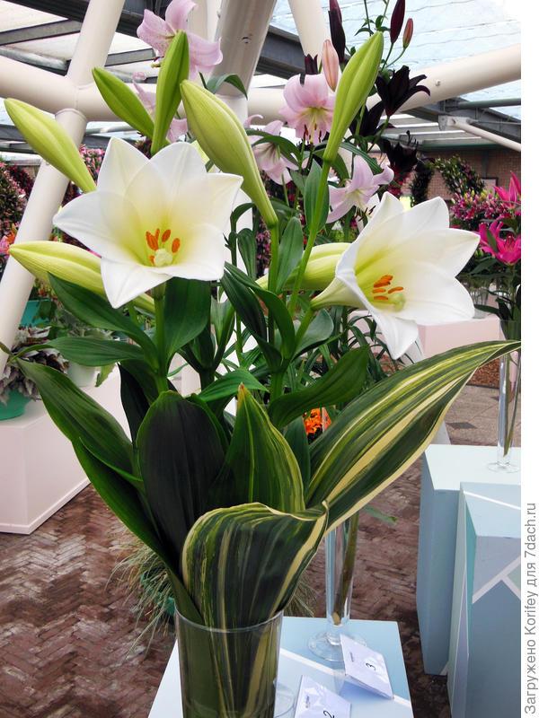 Лилия Watch Up_DSCN4665, тоже красивый лонгифлорум (читай трубчатая лилия)