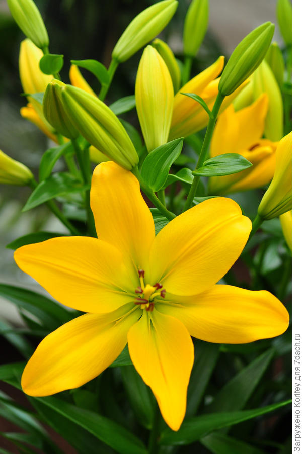 Или вот ярко желтый ПА гибрид - Golden Tycoon_LA_DSC_0456