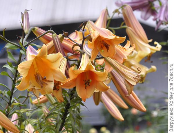 И ещё один красивый классический трубчатый сорт African Queen_DSC0023_7dach. Все трубчатые лилии обладают сильным и достаточно приятным (на большом расстоянии -:)) запахом