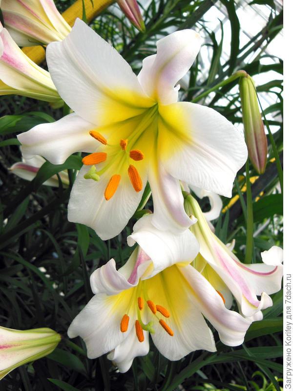 Классическая трубчатая лилия сорта Regale_DSCN5408