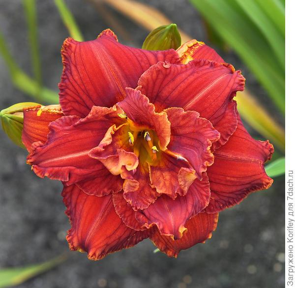 Яркий махровый лилейник Paprika Flame, цветки без запаха