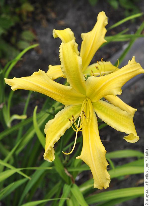 "Лилейник с цветком, напоминающим паука, т.е. ""спайдер"" - сорт Summer Star, без запаха"