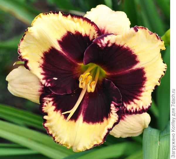 """Так называемый, """"глазастый """" лилейник сорта Tiger Blood. Для них характерно большое и яркое пятно (глазок) по центру цветка, как правило, занимающий большую часть его площади."""
