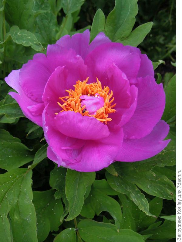 Расцветка более близкая к фиолетовой
