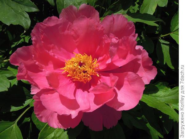 Такая ярко-розовая, даже лососевая окраска тоже достаточно редкая, в основном это более пастельные окраски и оттенки