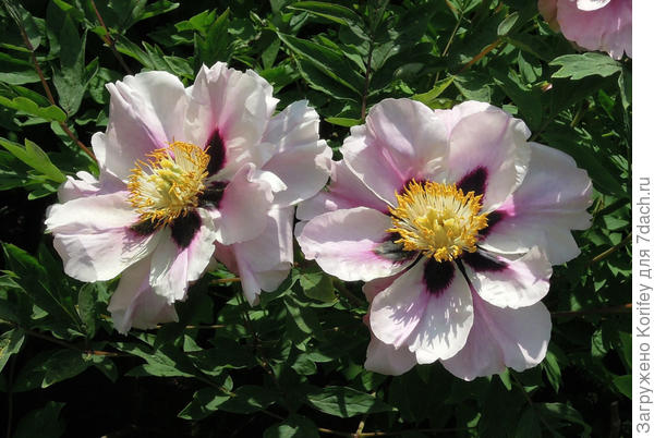 Белые расцветки