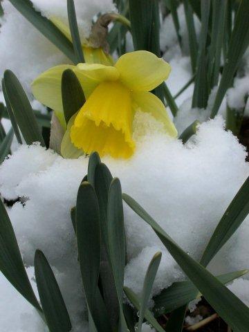 Сорт Bravoure под снегом ))))