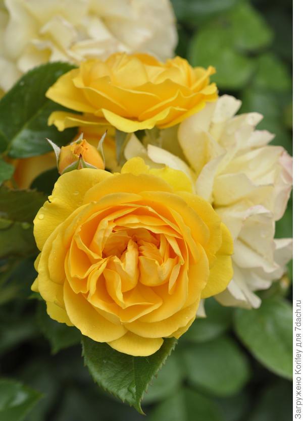 Сорт Absolutely Fabulous, Floribunda, Tom Carruth, USA