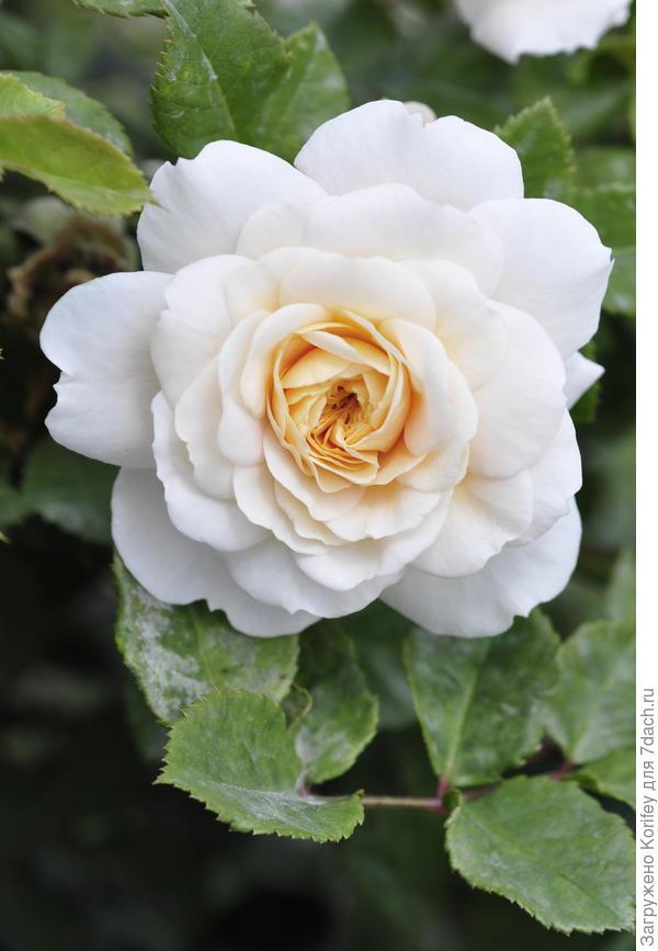 Сорт Crocus Rose, не совсем белый, но очень красивый, шраб, David Austin, 2000