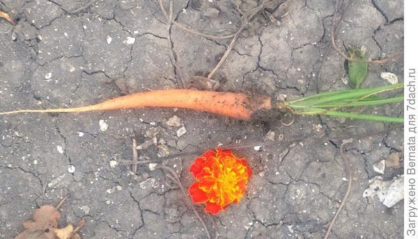 Не было спичек , сорвала цветок бархатца..., самого обычного... Все знают, какого он размера?!