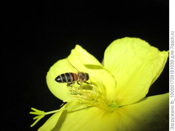 пчелка трудится. пыльцы бывает так много, что больше самой.