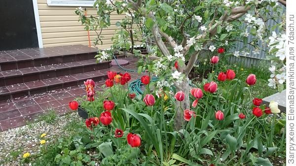 Конечно тюльпаны и нарциссы