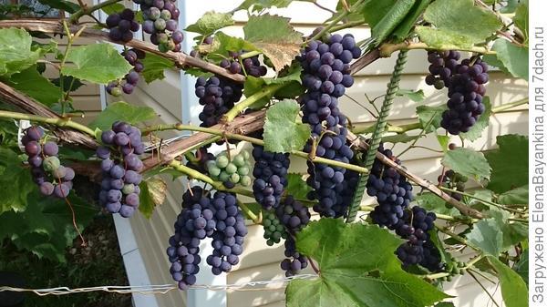 Мой подмосковный виноград.
