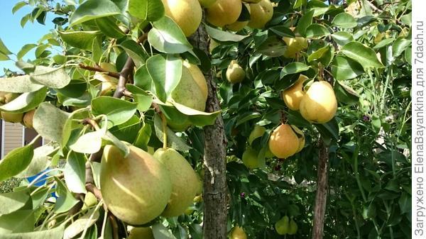 А это плоды груши, той, которая с хостой в предыдущей фото.