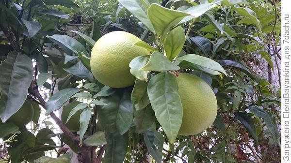Первые апельсины