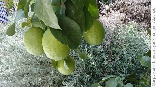 Лимоны, выраженные нами